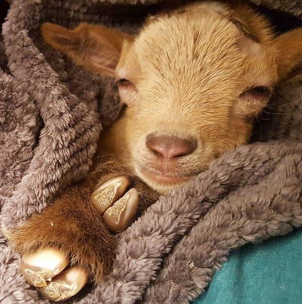 goat-lawson-baby-6