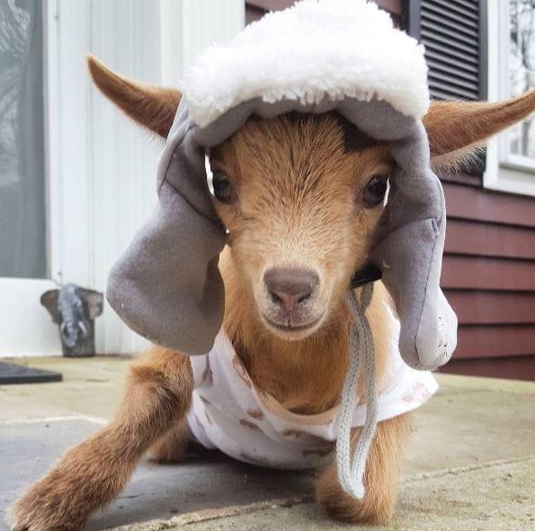 goat-lawson-baby-7