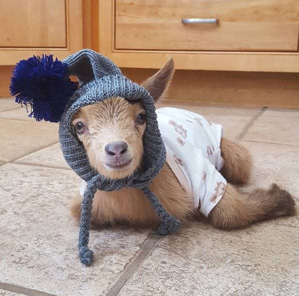 goat-lawson-baby-9