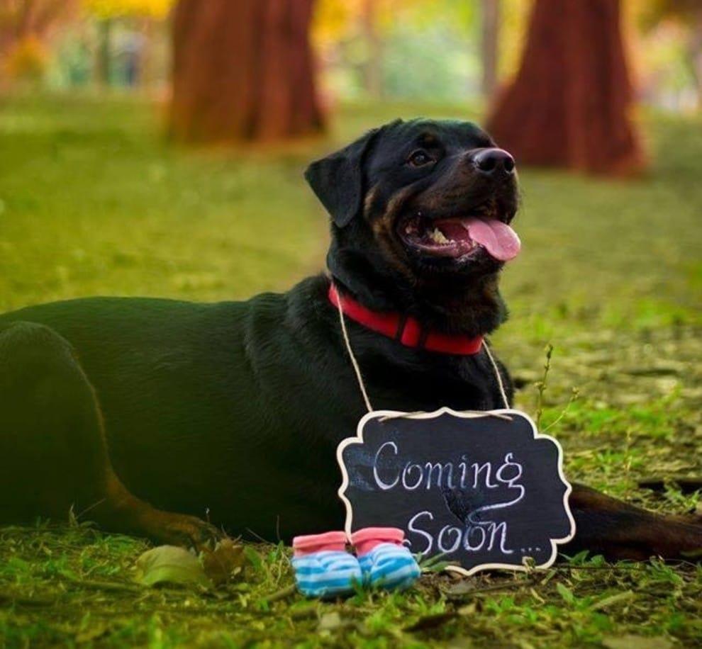 pregnancy_photoshoot_dog_7