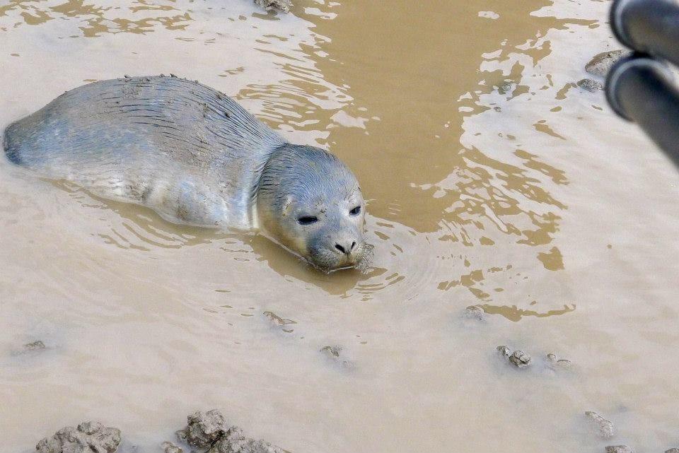 seal_cows_rescue_3