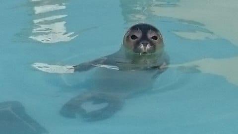 seal_cows_rescue_5