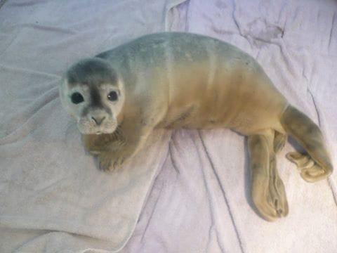 seal_cows_rescue_6