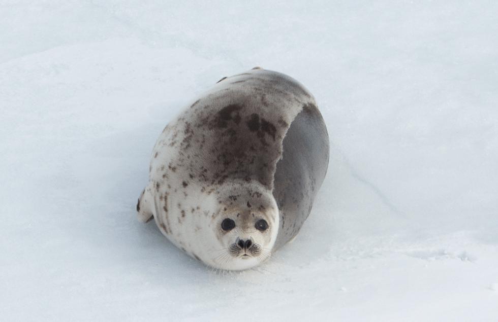 seal_hunt_fur_canada_3
