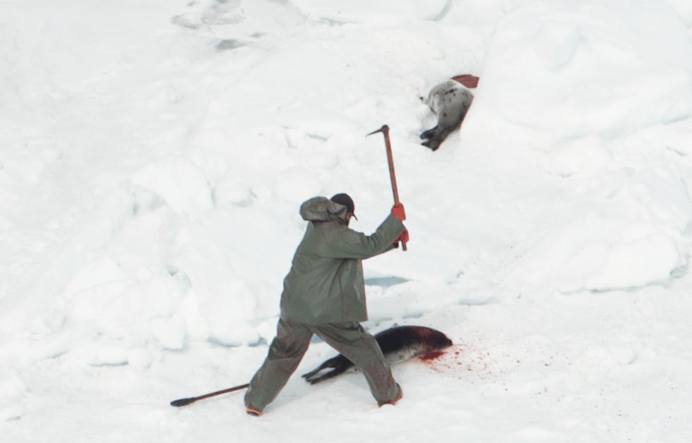 seal_hunt_fur_canada_9