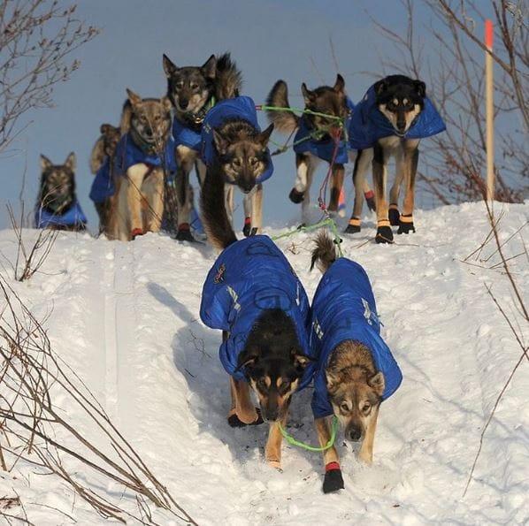 sled-dogs-iditarod-3