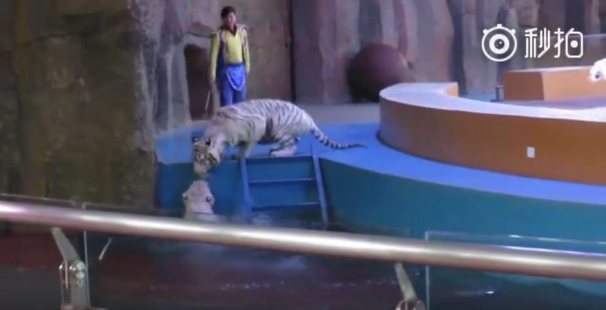 tigers-circus-china-3