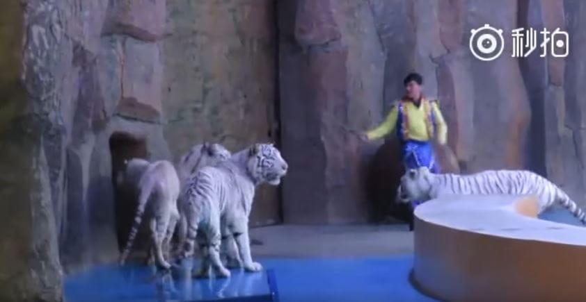 tigers-circus-china-5