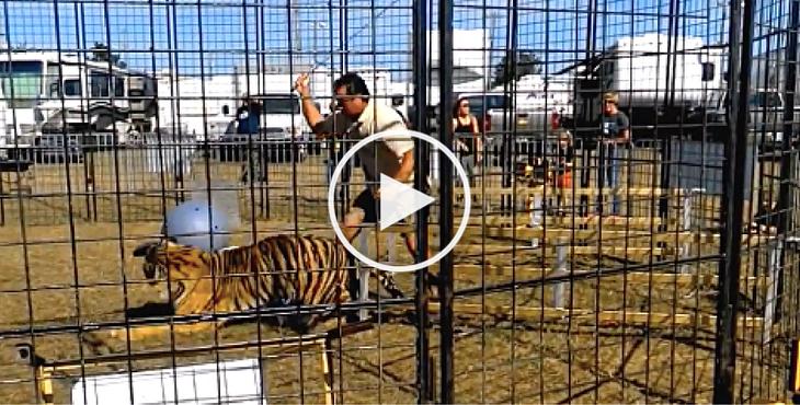 tigres-cirques-accident-cover