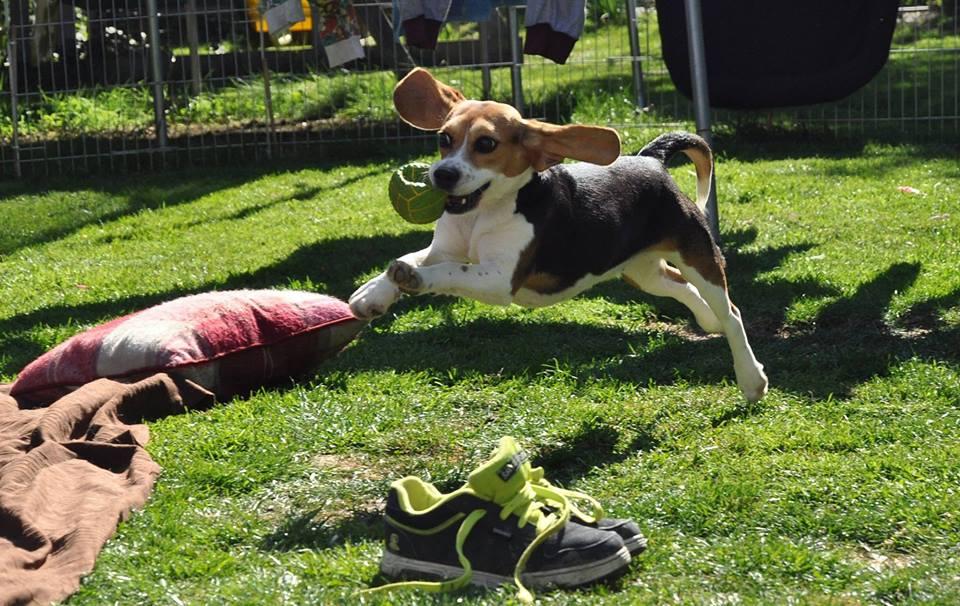 beagle-bea-lab-rescue-2