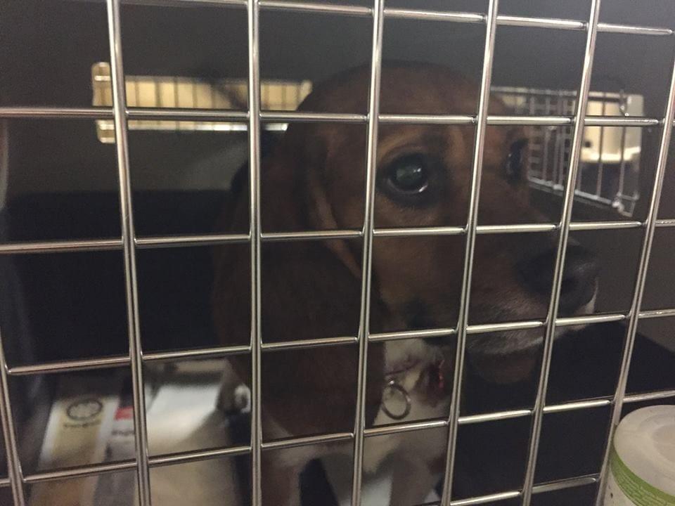 beagle-bea-lab-rescue-3