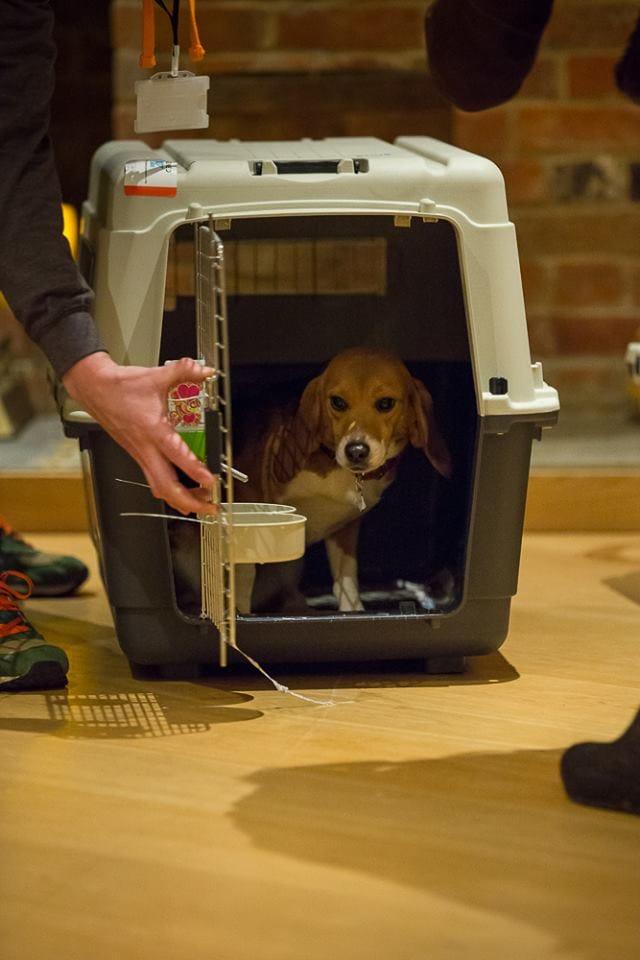 beagle-bea-lab-rescue-4
