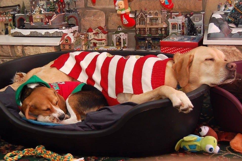 beagle-bea-lab-rescue-8