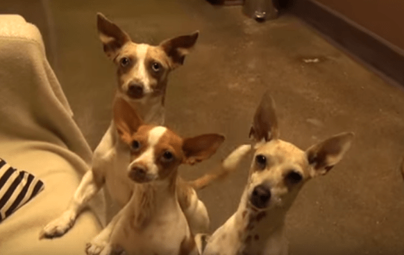 chihuahua_rescue_hfp_mbp_5