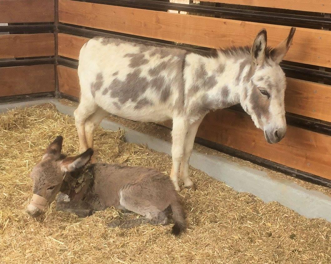 chloe-donkey-rescue-6