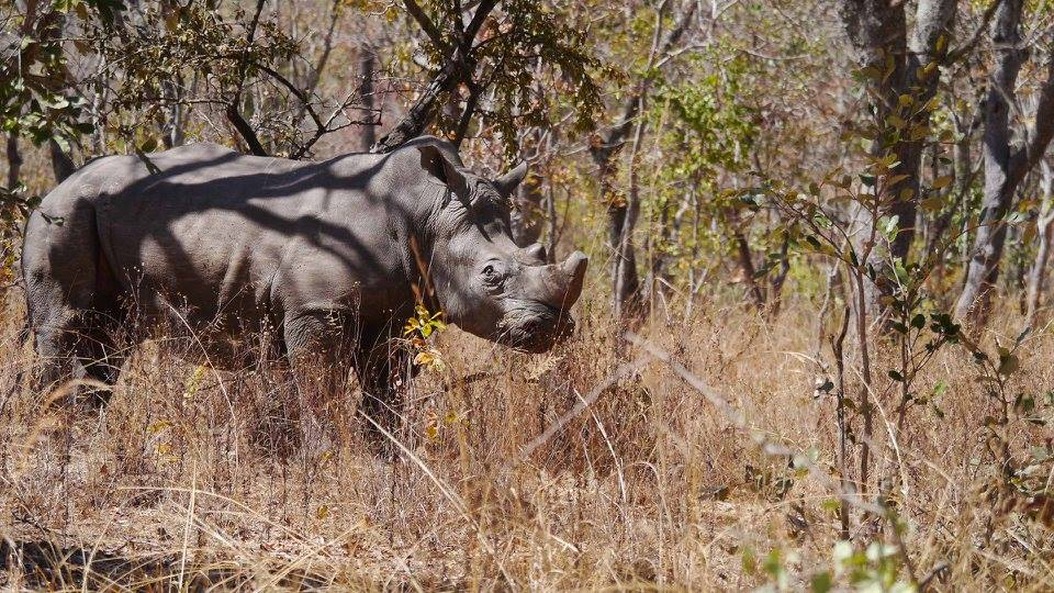 rhino_horn_south_africa_1