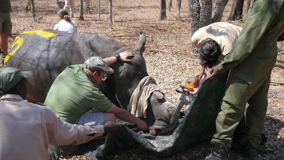 rhino_horn_south_africa_2