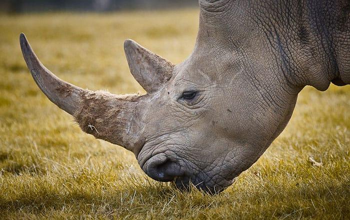 rhino_horn_south_africa_3