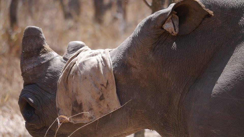 rhino_horn_south_africa_4