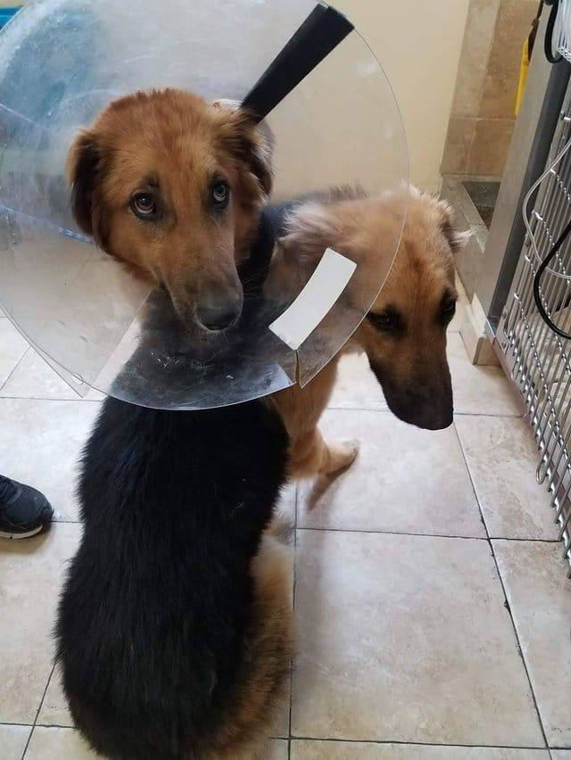 apollo_adonis_dog_pair_rescue_2