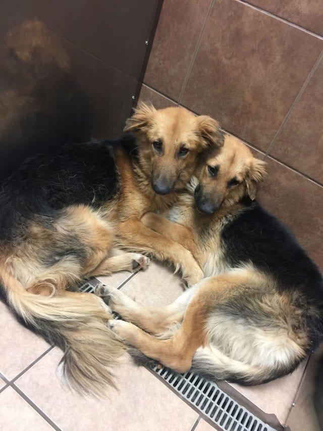 apollo_adonis_dog_pair_rescue_3