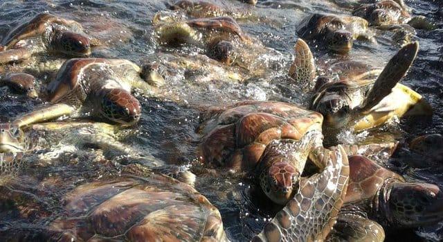 ctc_turtle_farm_3