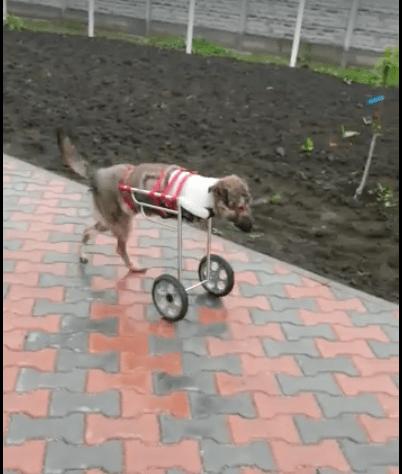 dog-weebly-trauma-4
