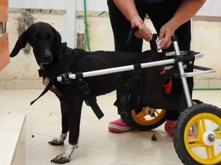 xenia-dog-paralysed-4