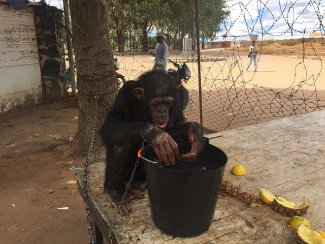 leila_chimp_chained_rescue_5