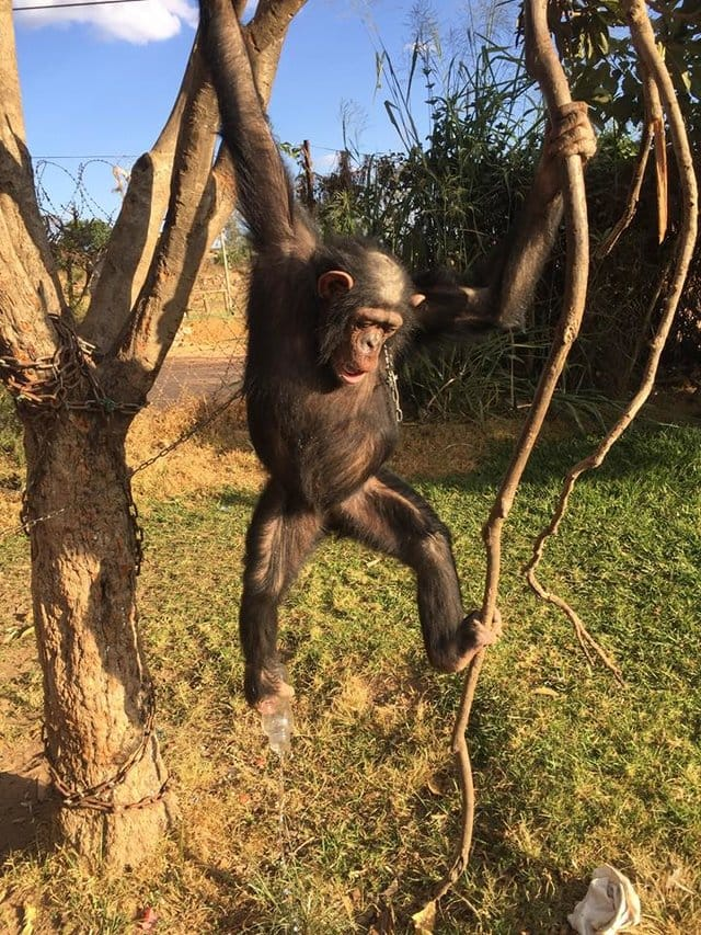 leila_chimp_chained_rescue_8