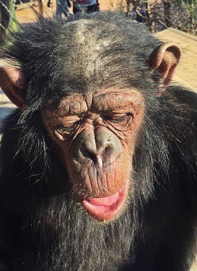 leila_chimp_chained_rescue_9