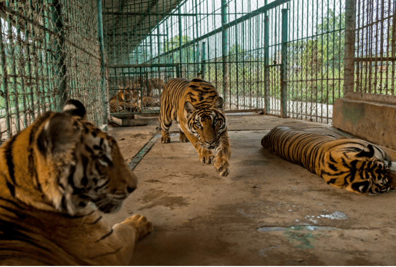 tiger_farming_asia_wine_2
