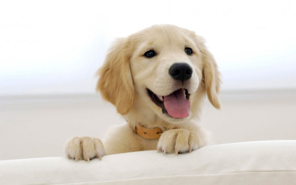 15 Pictures Of The Cutest Golden Retriever Puppies That Will Make Your Heart Melt