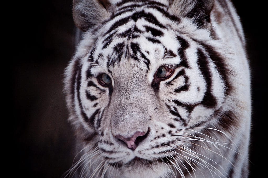 This Is The Dark Truth Behind White Tigers