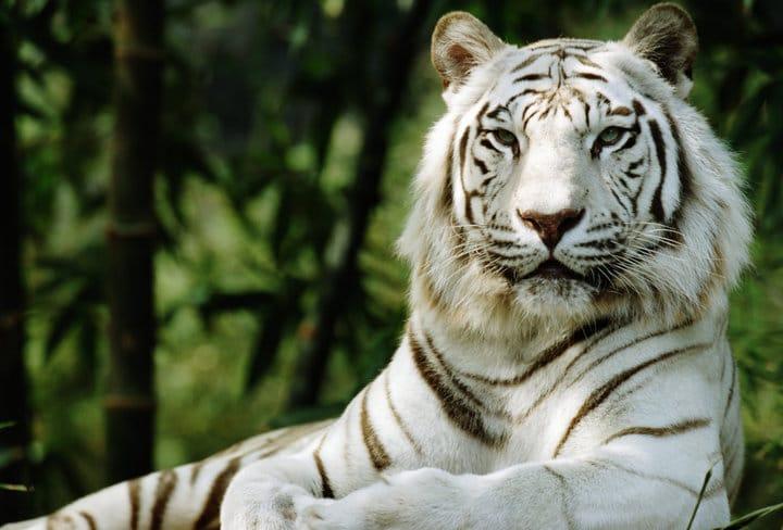 Die Dunkle Wahrheit Hinter Weißen Tigern