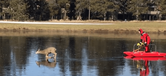 deer rescued from ice