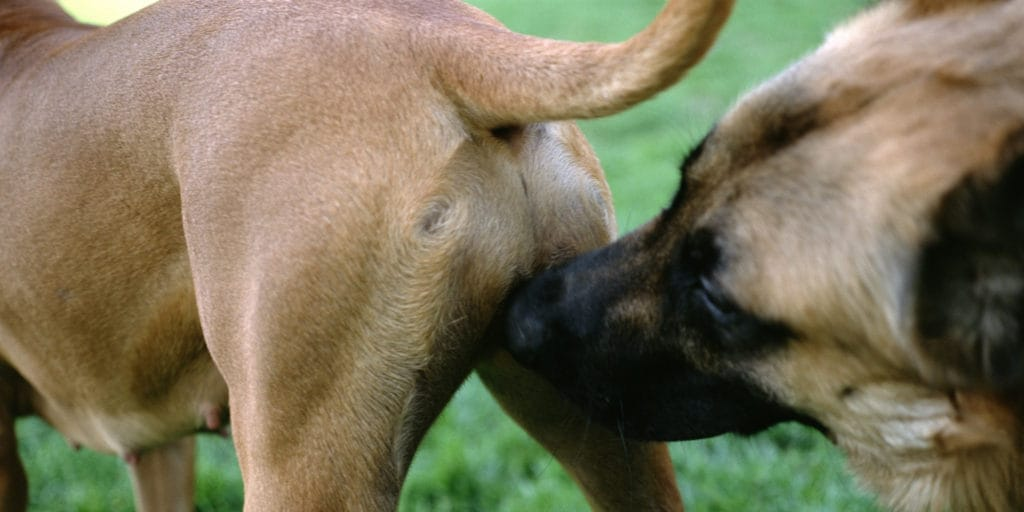 dog sniffing bum