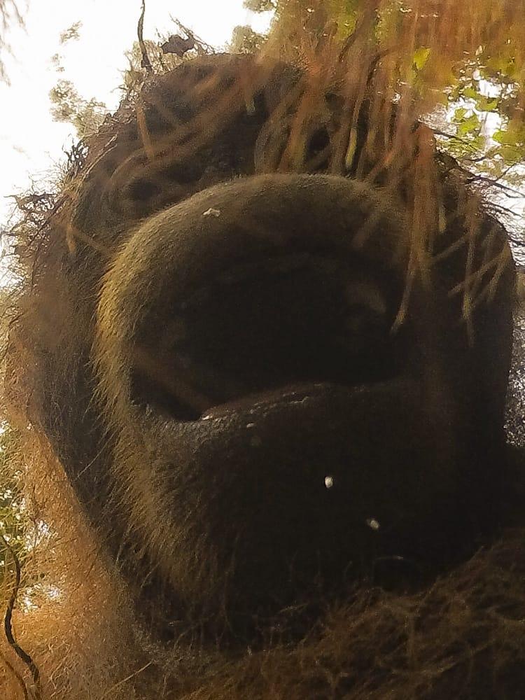 orangutan selfie