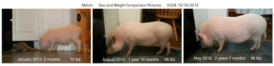 micro pigs aren't real