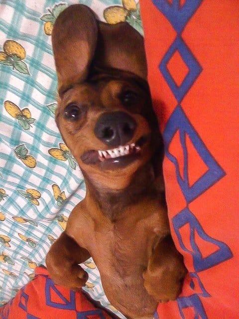 sausage dog funny