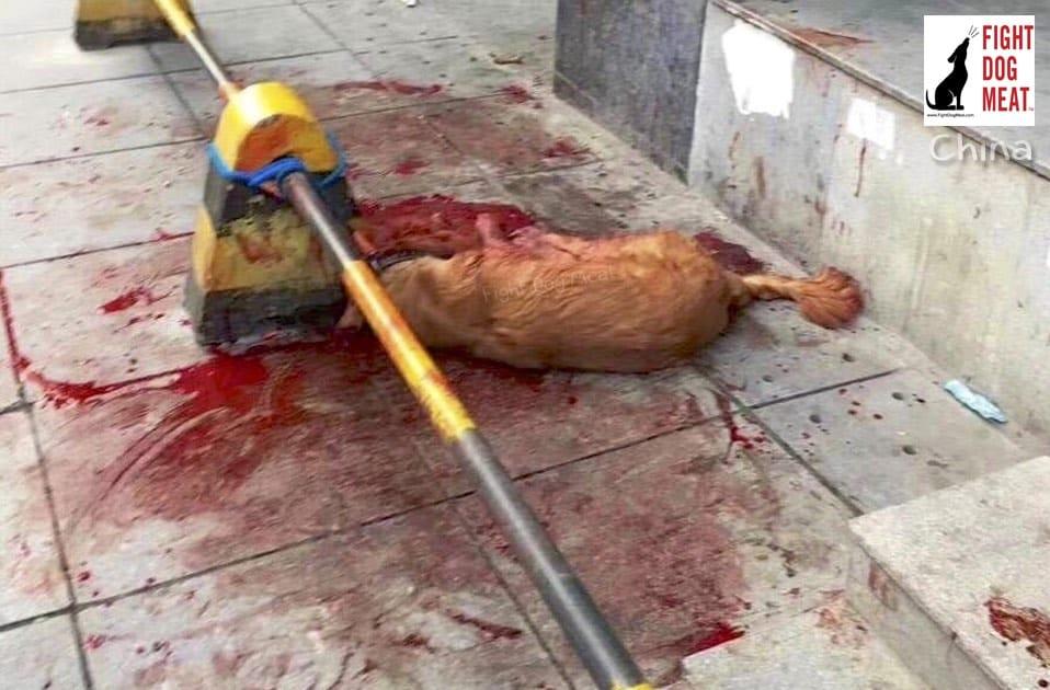 golden retriever killed in china