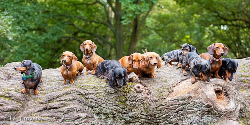dash hounds