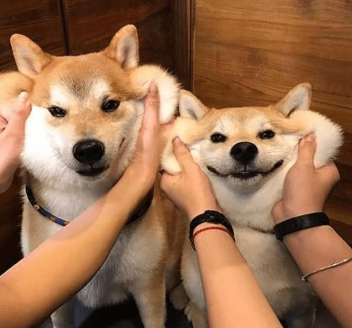 19 Reasons To Never Adopt A Shiba Inu Holidogtimes