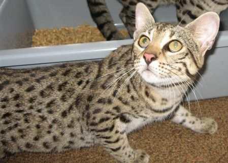Safari cat breed