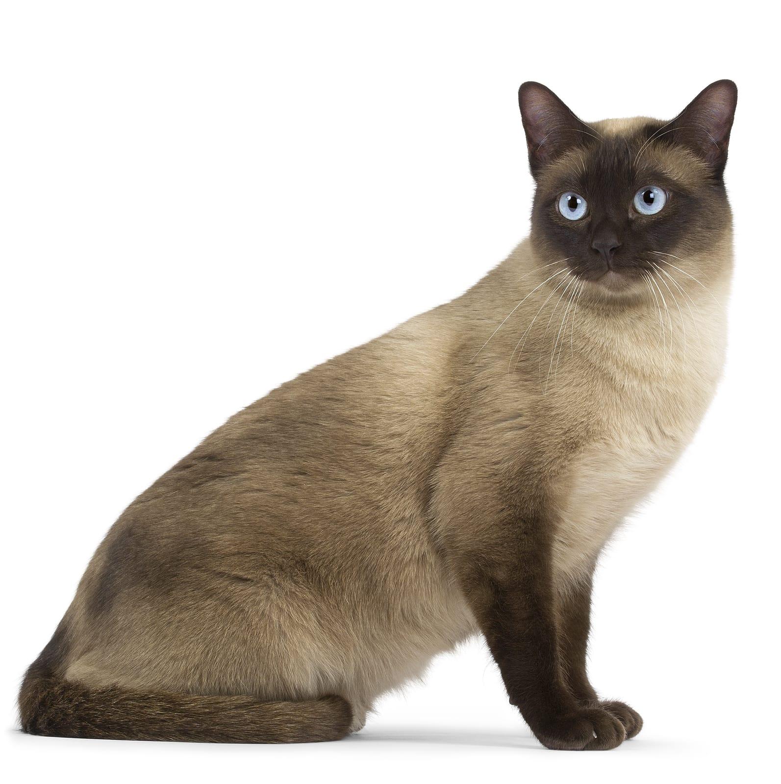 tonkinese cat personality