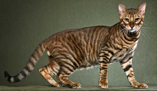 californian toyger cat