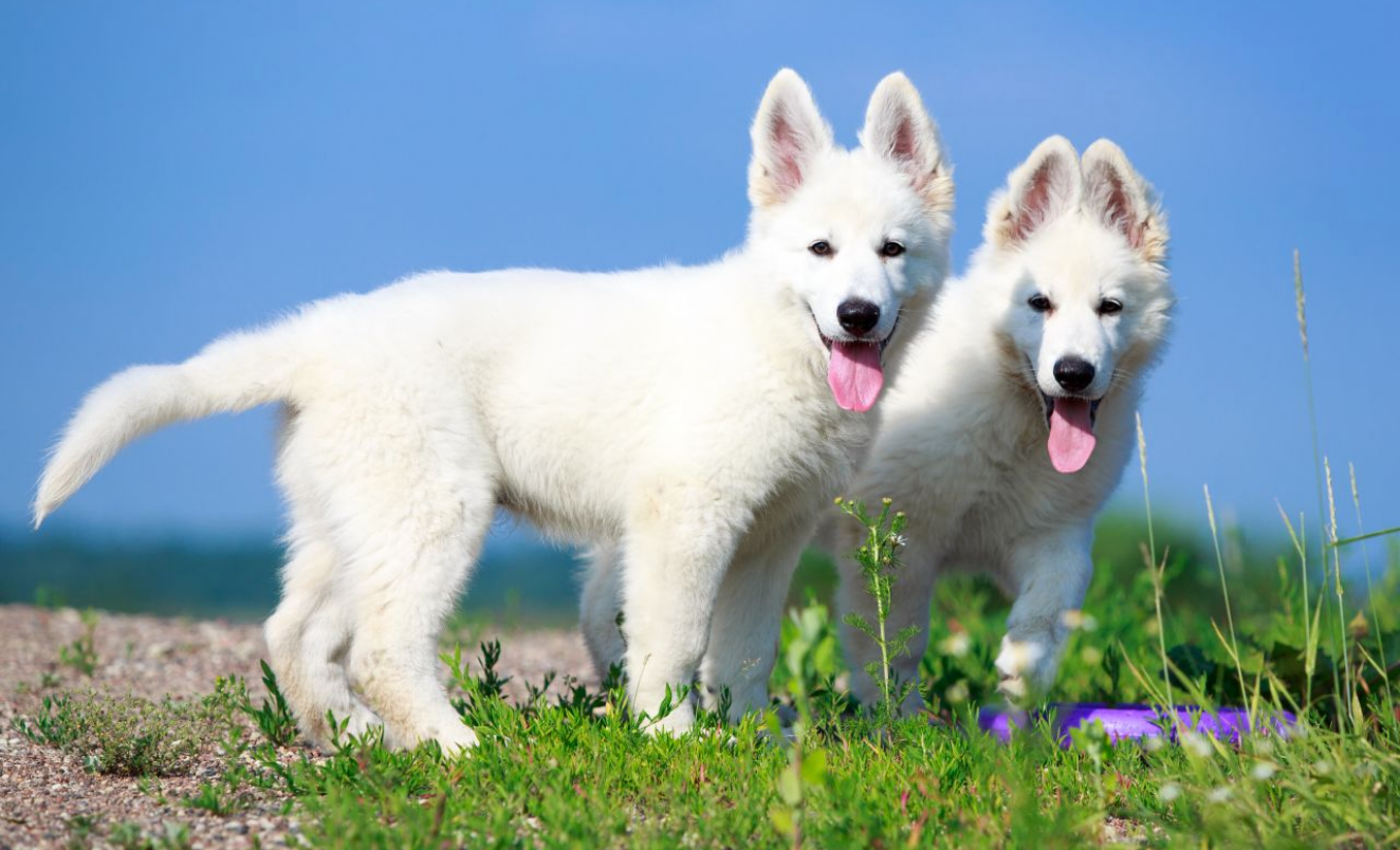 Find White long haired German Shepherd Puppies For Sale Near Me In South Australia