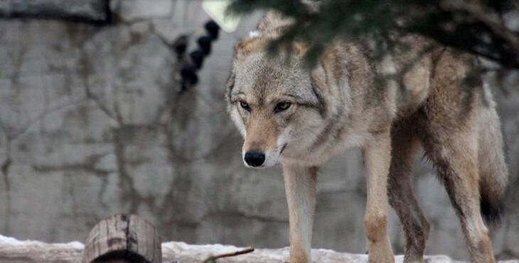 Drôme : deux louves gestantes abattues