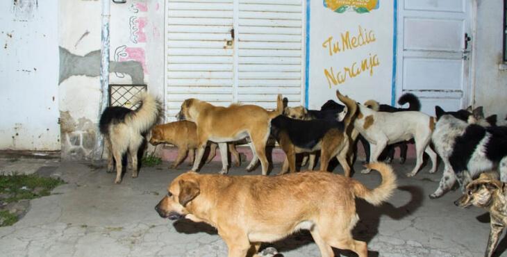 La Paz : la ville envahie par des milliers de chiens errants