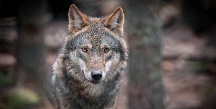 Pyrénées-Orientales : le plus vieux loup jamais enregistré en milieu naturel